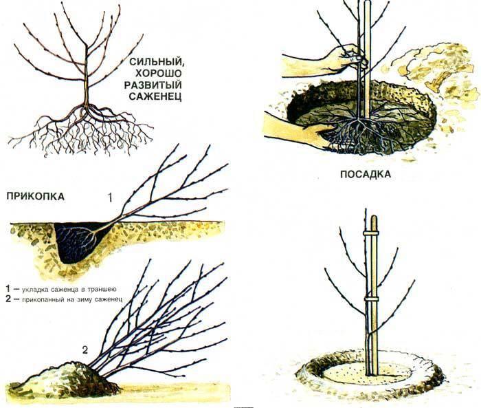 Что из себя представляет сорт вишни «владимирская»: описание, фото, отзывы