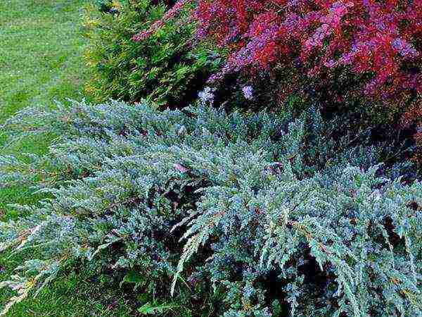 О можжевельнике блю карпет: описание сорта, как посадить и ухаживать