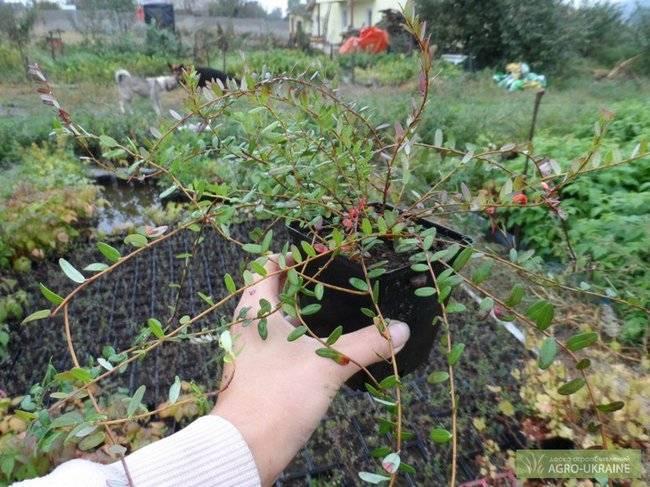 Клюква садовая: посадка, уход, выращивание, обработка и подкормка в домашних условиях (85 фото + видео)