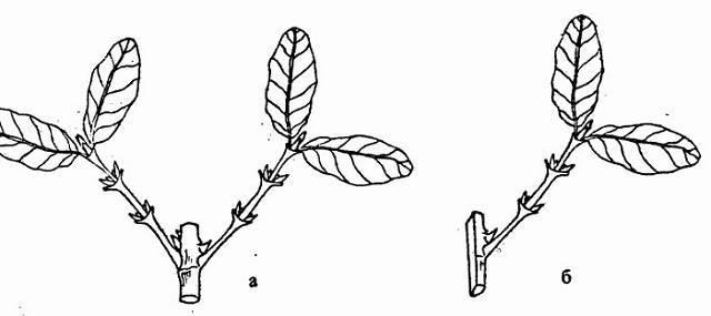Способы размножения жимолости отводками и черенками