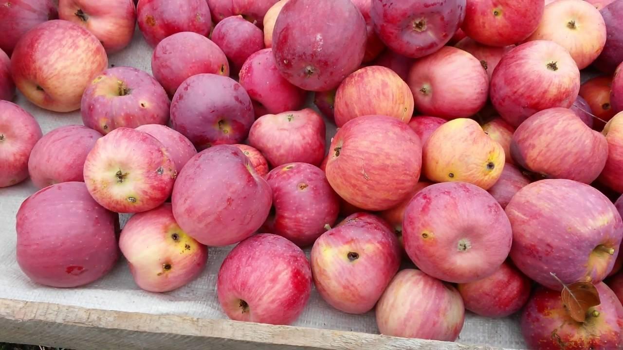 Описание сорта яблони имрус