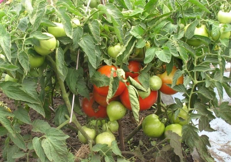 Томат бобкат: 4 особенности сорта и правила выращивания