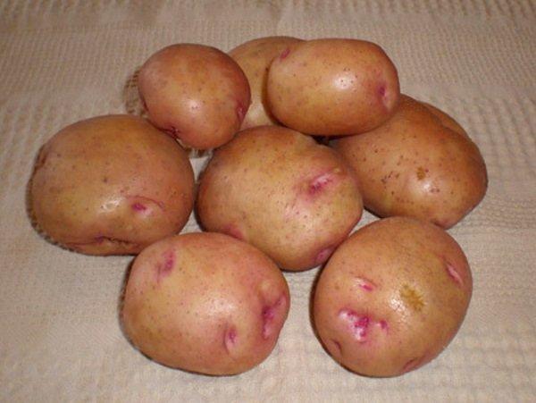 Сорта картофеля для сибири