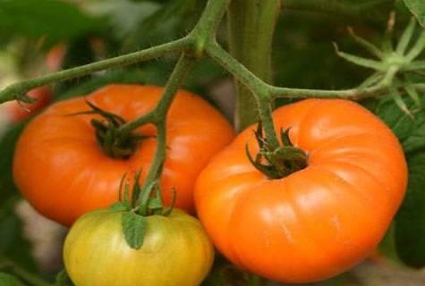 Все о томате алтайский оранжевый: характеристики и описание сорта