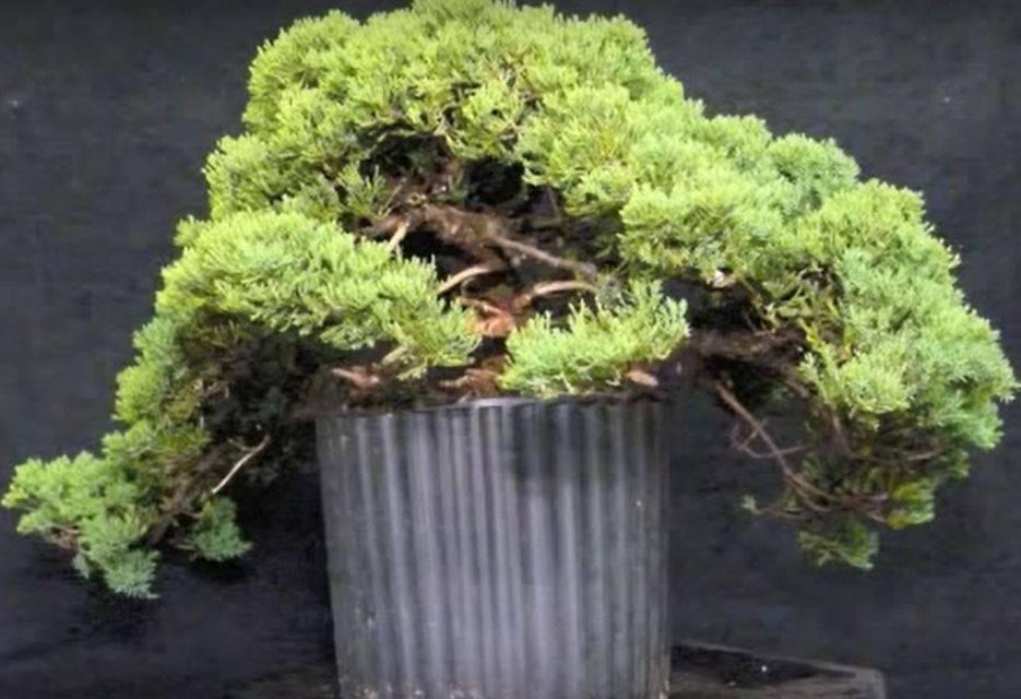 Правила выращивания туи восточной ауреа нана