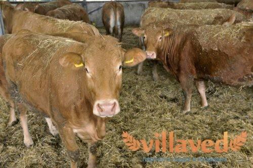 Отличное решение для фермерского хозяйства — красная степная порода коров
