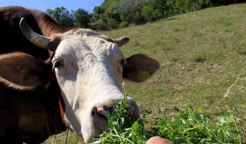 Почему теленок скрипит зубами и не пьет
