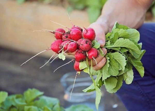 Редис черриэт f1: описание, отзывы, фото, урожайность