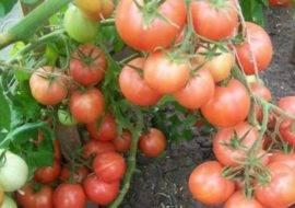 Томат Чудо Уолфорда: отзывы, фото, урожайность