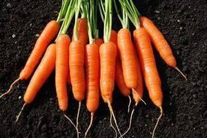 Морковь, описание, сорта и выращивание – полезные и лечебные свойства моркови — vosmarket