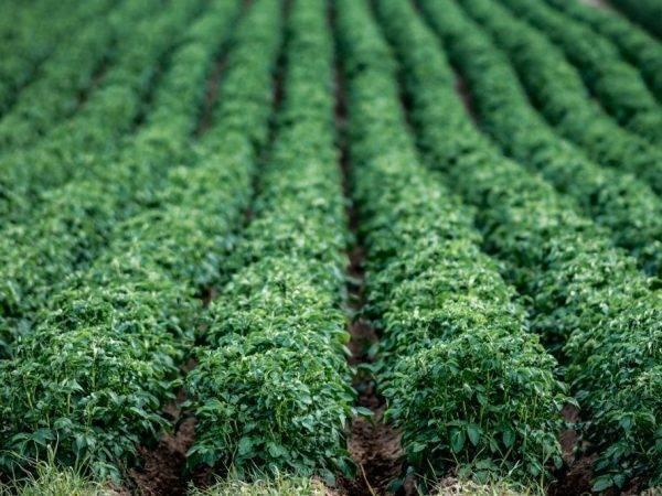 Картофель лимонка — описание сорта, фото, отзывы, посадка и уход