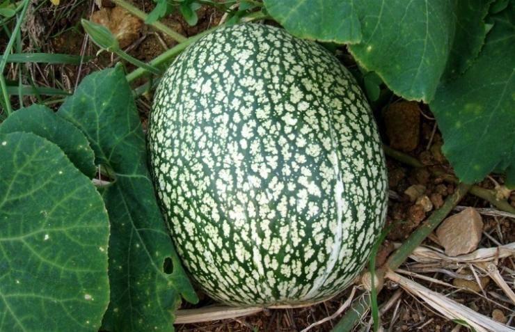 Тыква фиголистная: выращивание и уход