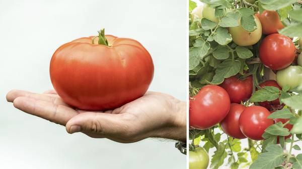 Выращивание томата севрюга