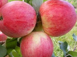 Летняя яблоня красное раннее: описание, фото, отзывы