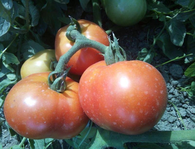 Большая мамочка – отличная новинка среди ранних салатных томатов