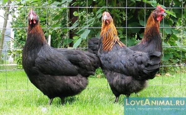 Породы черных кур (31 фото): панциревская, китайская шелковая, русская черная бородатая и другие куры черного цвета. какого цвета яйца? как вырастить взрослую птицу из цыпленка?