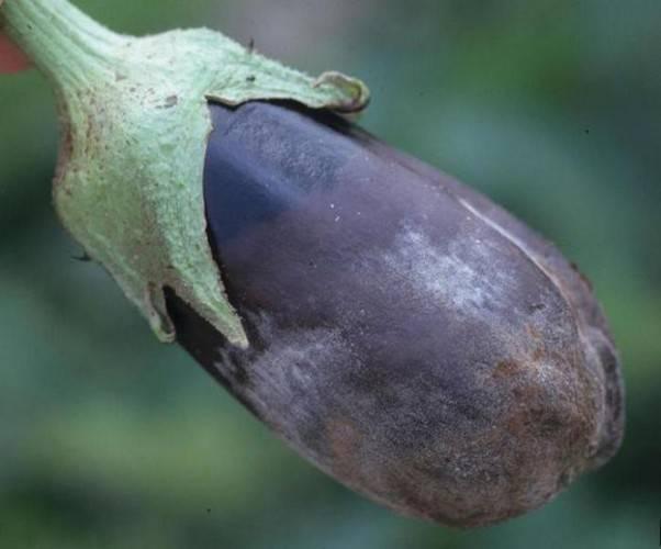 Баклажаны: выращивание и уход, методы борьбы с вредителями