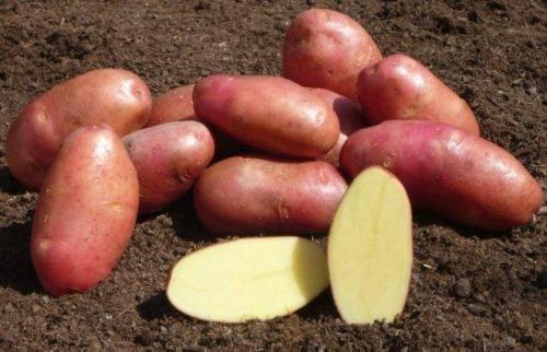 Описание картофеля сорта ермак — сроки посадки и сбора урожая