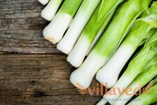 Лук-порей карантанский: выращивание из семян, описание сорта + отзывы и фото