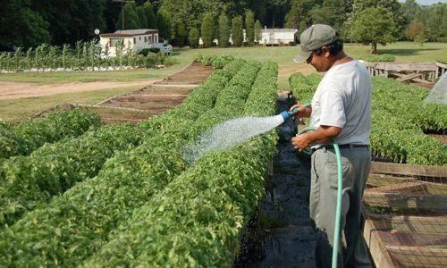 Рецепты подкормки помидоров дрожжами в теплице и грунте