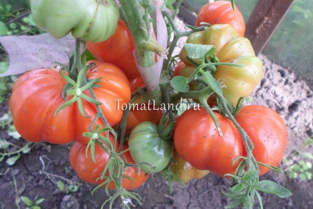 Томат «сахарная настасья»: новинка для огородников