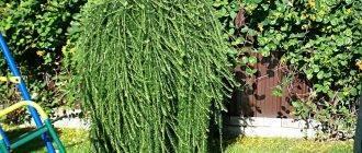Лиственница японская (40 фото): описание лиственницы кемпфера, сорта тонкочешуйчатой лиственницы «диана» и stiff weeper, «пендула» и «блю дварф», посадка и уход