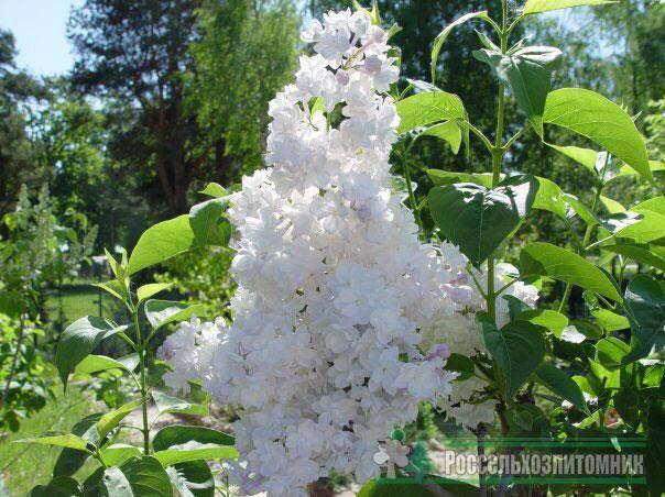 Гордость цветовода – сирень сорта красавица москвы