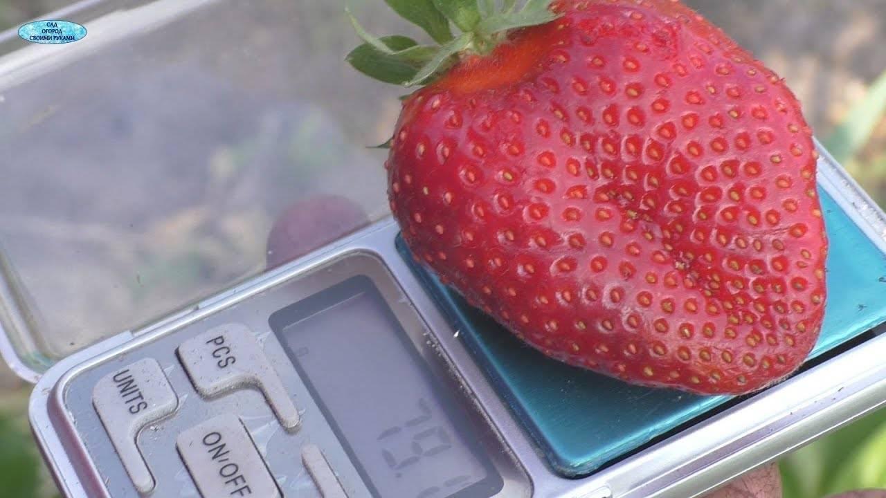 Клубника хоней — характеристика и описание сорта. рассада, выращивание и особенности выращивания (100 фото)