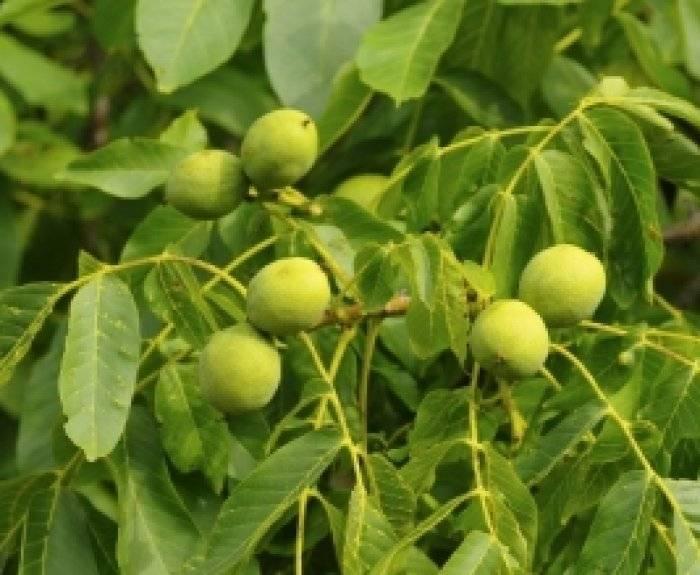 Как пересадить грецкий орех осенью