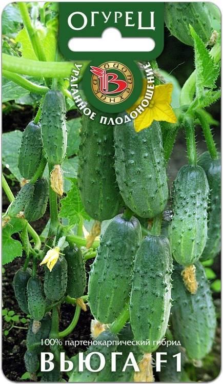 Особенности капусты сорта вьюга