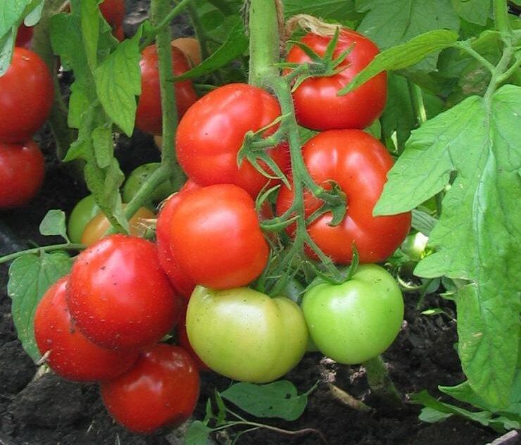 Лучшие сорта помидор для средней полосы россии
