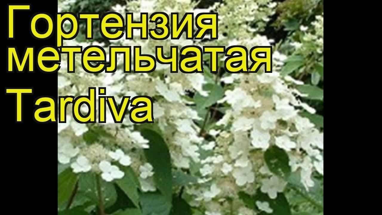 О сорте гортензии киушу метельчатая: описание, как посадить и ухаживать