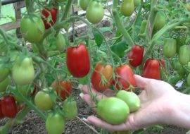 Выращивание томата гигант лимонный