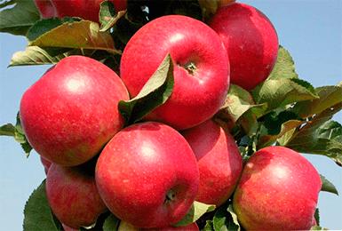 Яблоня антей: описание сорта, фото, отзывы садоводов, уход, обрезка