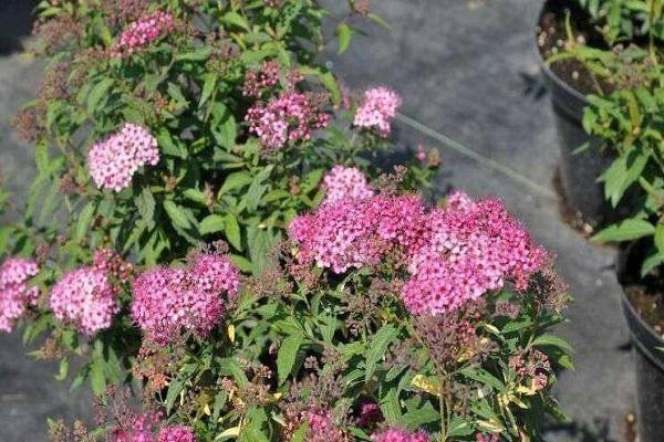 Спирея голдмаунд: описание и особенности выращивания