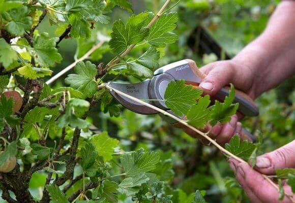 Как правильно обрезать крыжовник: когда нужно подрезать, формирование и омоложение