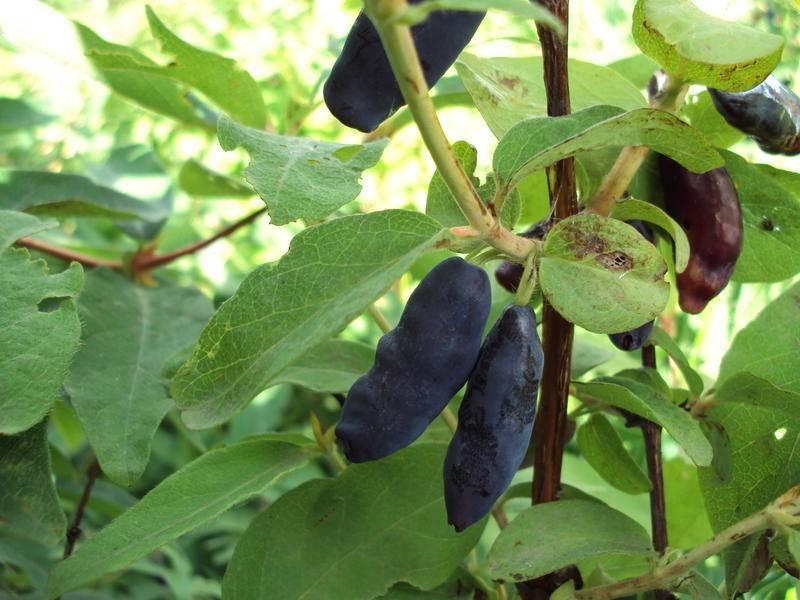 Жимолость сибирячка: описание сорта, фото, выращивание, отзывы
