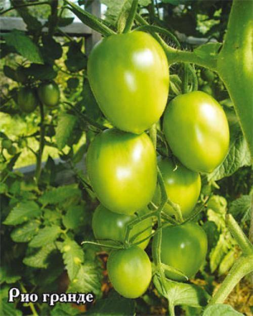 Сорт томата «лонг кипер»: описание, характеристика, посев на рассаду, подкормка, урожайность, фото, видео и самые распространенные болезни томатов