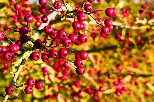 Боярышник – кладезь витаминов в саду: посадка и уход
