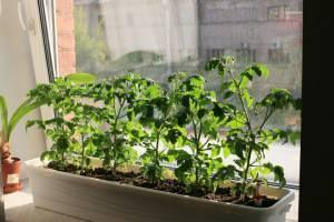 Какие помидоры можно выращивать на подоконнике зимой