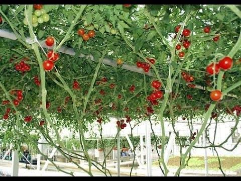 Как выращивать томаты сорта спрут?