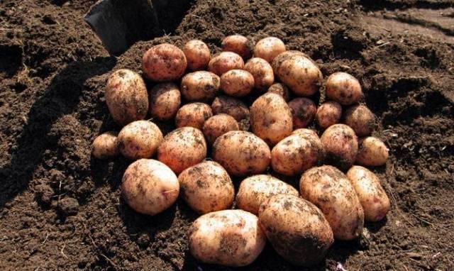 Картофель молли