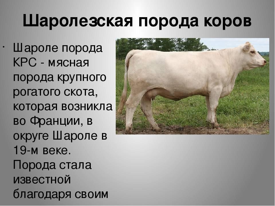 Шароле порода коров: описание