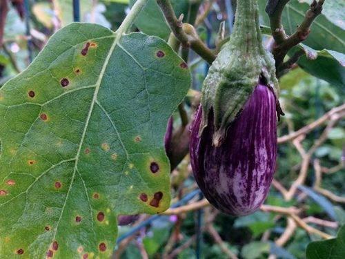 Как вырастить и уберечь от болезней и вредителей рассаду баклажанов