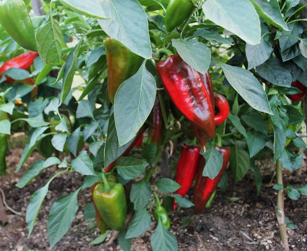 Перец подарок молдовы: описание сорта и особенности выращивания