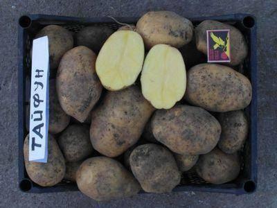 Описание картофеля сорта Тайфун