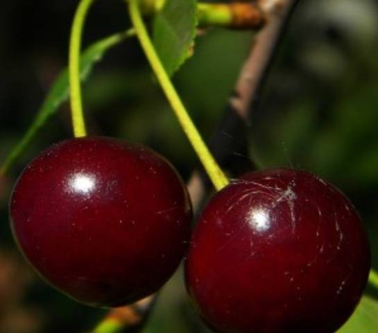 Вишня «гирлянда»: особенности выращивая и уход