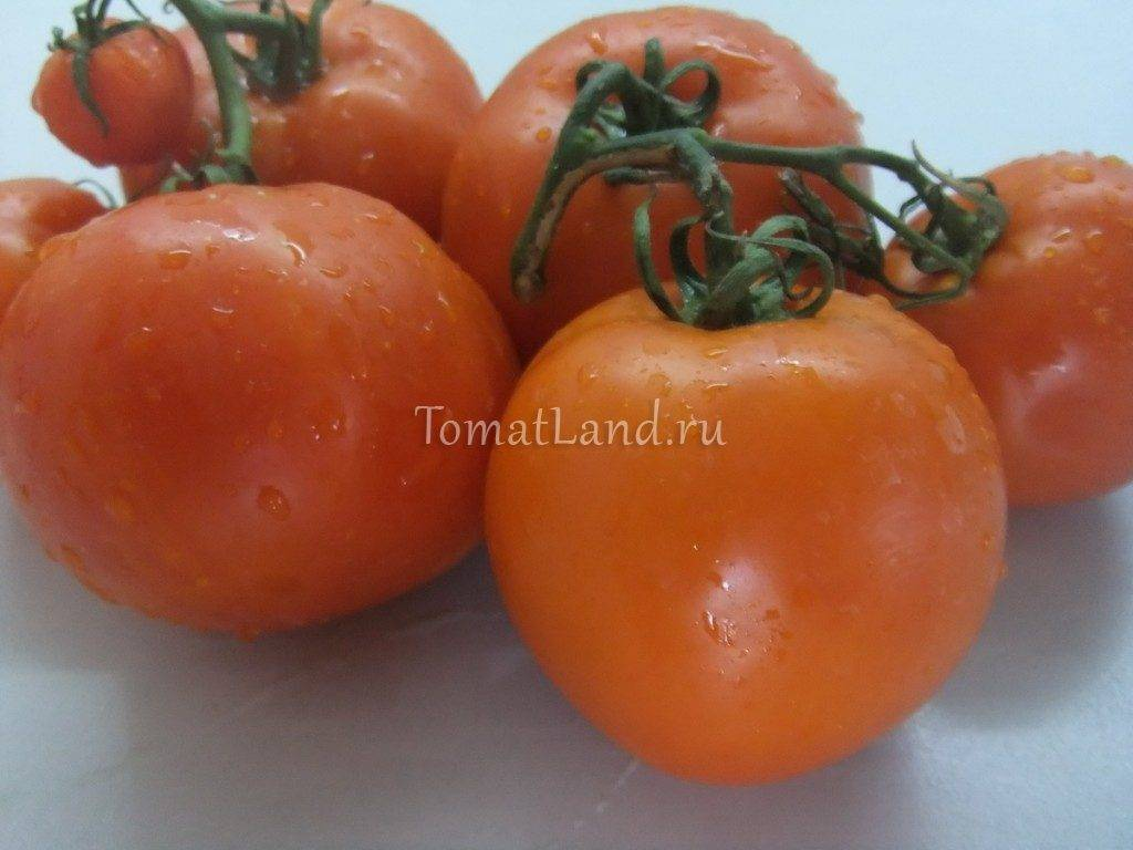 Отличный сорт помидор для выращивания в теплицах — томат «огородник» фото и описание