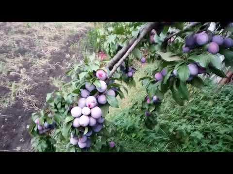 Слива анна шпет: важные нюансы относительно высадки дерева