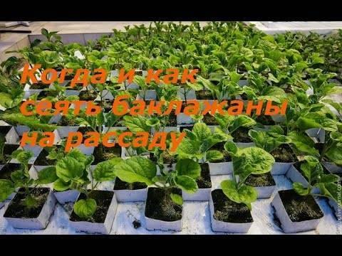 Как вырастить баклажаны в открытом грунте в подмосковье